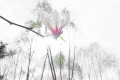 цветок yulan Стоковые Изображения