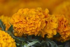 Цветок Zinnia в саде Стоковое Фото