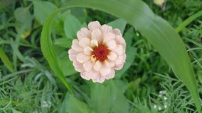 Цветок Zinnia в саде Стоковая Фотография