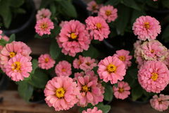 Цветок Zinnia в саде Стоковое фото RF
