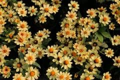 Цветок Zinnia в саде Стоковые Изображения