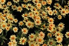 Цветок Zinnia в саде Стоковая Фотография RF