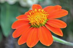 Цветок Zinnia в цветени стоковые изображения rf