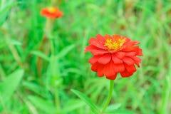 Цветок Zinnia зацветая в предпосылке зеленой травы сада Стоковые Изображения