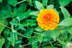 Цветок Zinnia зацветая в предпосылке зеленой травы сада Стоковые Фотографии RF