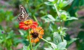 Цветок Zinnia и имеет летание бабочки на ем в саде Стоковое Фото