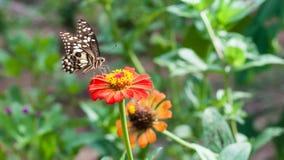 Цветок Zinnia и имеет летание бабочки на ем в саде Стоковые Фото
