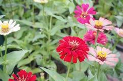 Цветок Zinnia, крупный план красного цветка Zinnia Стоковые Изображения RF