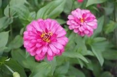 Цветок Zinnia, крупный план красного цветка Zinnia Стоковое Фото
