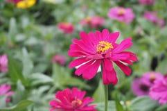 Цветок Zinnia, крупный план красного цветка Zinnia Стоковое Изображение