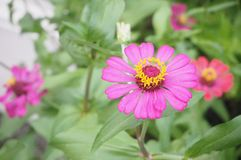 Цветок Zinnia, крупный план красного цветка Zinnia Стоковая Фотография