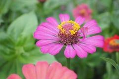 Цветок Zinnia, крупный план красного цветка Zinnia Стоковое фото RF