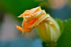 Цветок Zucchini стоковое изображение rf