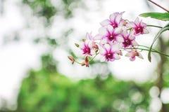 Цветорасположение белизны с пурпурными цветками орхидеи края зацвета стоковые фотографии rf