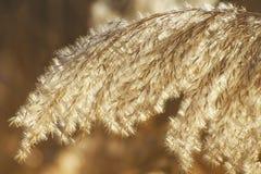 Цветорасположение камышовой травы весной в золотом ярком солнечном свете Абстрактная естественная предпосылка Изображение конца-в стоковые изображения rf