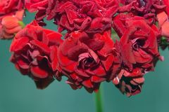 Цветорасположение красного гераниума с цветками в форме роз стоковая фотография rf