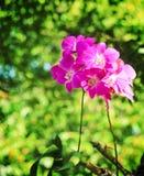 Цветорасположение красочных пурпурных цветков или dendrobium орхидеи зацветая в саде стоковые изображения rf