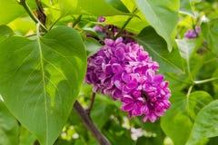 Цветорасположение пурпурной сирени среди листвы стоковые изображения rf