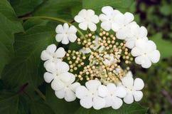 Цветорасположение цветков калины в форме зонтика стоковое изображение