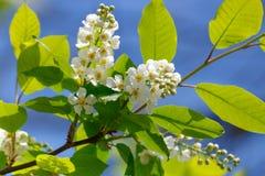 Цветорасположение blossoming белой вишни птицы на солнечном утре весны Стоковое Изображение RF