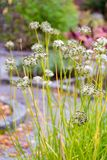 Цветорасположение chives чеснока в саде Стоковое Изображение RF