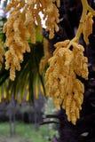 Цветорасположение fortunei trachycarpus стоковое фото rf
