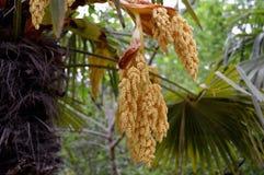 Цветорасположение fortunei trachycarpus стоковое изображение rf