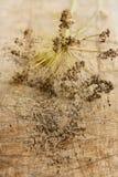 Цветорасположение укропа с сухими семенами Стоковое Изображение