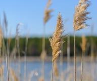 Цветорасположение bulrush против голубого неба озеро пущи arbersee баварское ближайше Предпосылка лета Затишье и безмолвие Стоковое фото RF