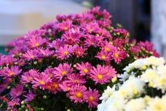 Цветочная композиция мам Стоковая Фотография RF