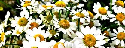 Цветочная композиция, маргаритка, крышка Facebook стоковая фотография rf