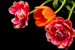 Цветочная композиция тюльпана Стоковое Изображение