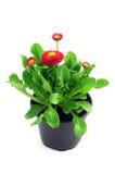 Цветочный горшок английской маргаритки Стоковая Фотография RF