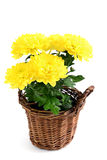 Цветочный горшок желтых цветков хризантемы Стоковое фото RF