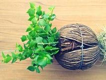Цветочный горшок от семени scholaris alstonia Стоковое Фото