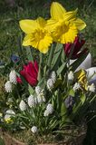 Цветочный горшок с зацветая желтыми daffodils Стоковые Изображения RF