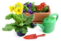 Цветочный горшок Primula с садовыми инструментами как чонсервная банка и лопаткоулавливатель на белизне стоковое фото