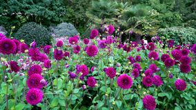 Цветочный сад зацветая фиолетовых цветков георгинов Очень славный общий план сток-видео