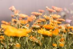 цветочный сад ноготк стоковое фото rf