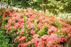 Цветочный сад Ixora Стоковое Изображение RF