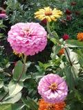 Цветочный сад Zinnia стоковые изображения rf
