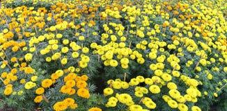 цветочный сад ноготк Стоковые Фото