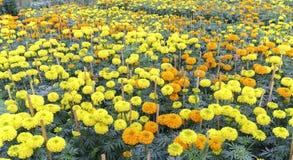 цветочный сад ноготк Стоковое Изображение