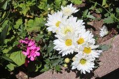 Цветочный сад с белым ` s хризантемы Стоковые Фото