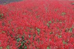 Цветочный сад шалфея шарлаха Стоковые Фото