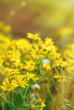 Цветущ, зацветая желтые цветки в луге Стоковое Фото
