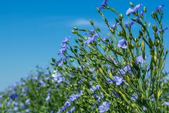 Цветущ, молодые заводы льна на поле, во время сбора, против неба Рядом ульи с пчелами стоковая фотография rf