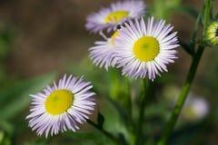 Цветы Красивая маргаритка цветет конец-Вверх стоковые изображения rf