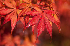 Цветы осени японского клена стоковая фотография
