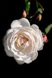 Цветы Роза белого цвета Макрос Стоковое Изображение RF